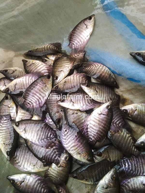 Bibit Benih Ikan Gurami Super Soang yang Paling Diminati