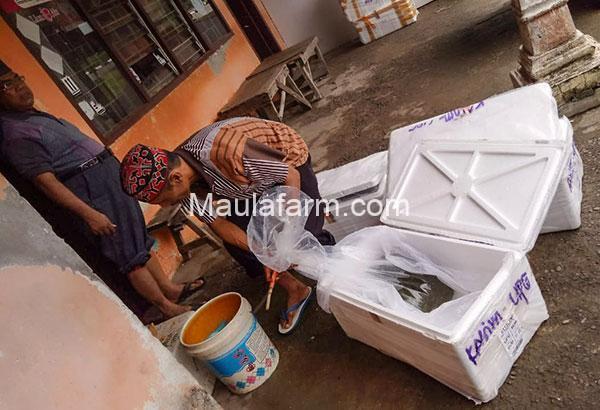 Bibit Gabus Sedang Dipacking untuk Dikirim