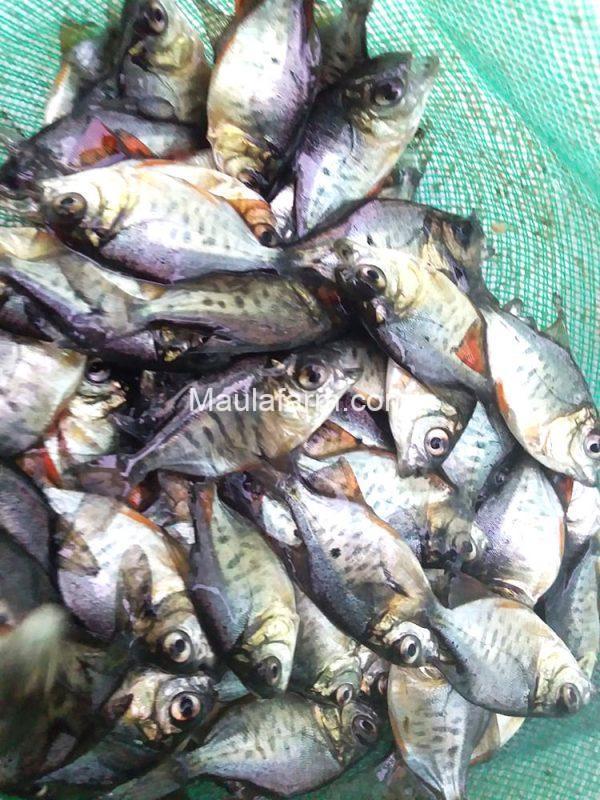 Bibit dan Benih Ikan Bawal