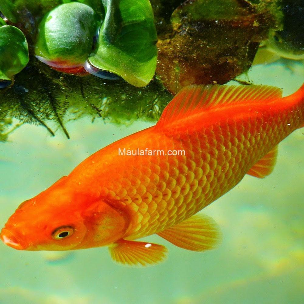 Cara Mengenal Hama dan penyakit ikan mas