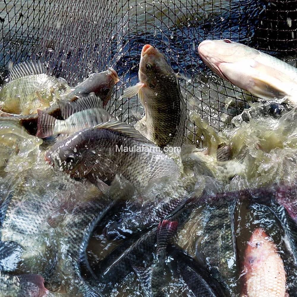 Hama dan penyakit ikan nila sebaiknya Anda tahu