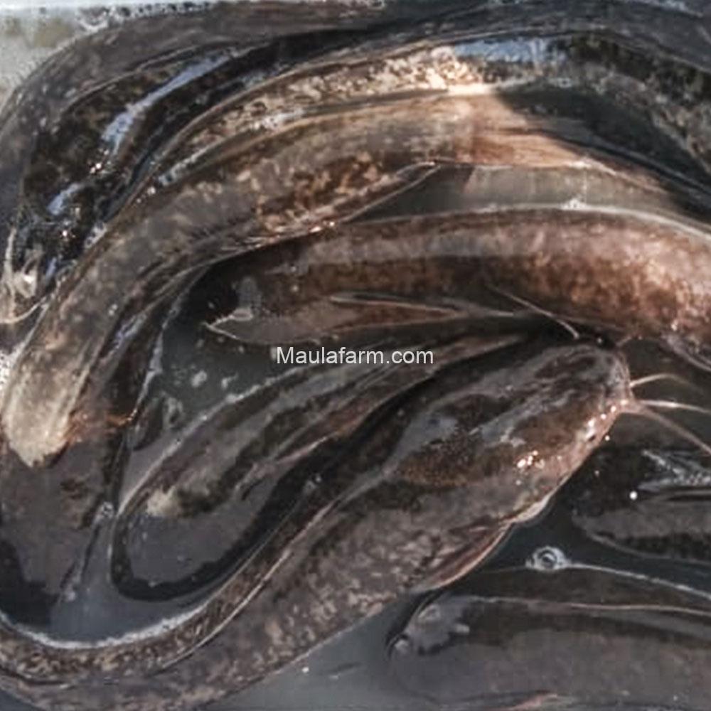 Jual Induk Ikan Lele Bersetifikasi, Lele Masamo, Lele Sangkuriang, Lele Phaiton dan Mutiara Unggul