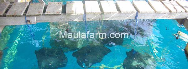 Keranjang dengan isi bibit abalon yang telah di gantung
