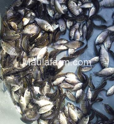 Jual Bibit Ikan Murah Lele Nila Patin Mas Koi Gabus Gurami Belut