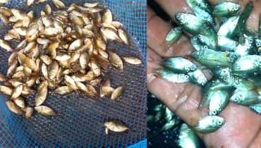 Jual Benih dan Bibit Ikan Bawal Berkualitas dengan Harga Grosir dan Murah